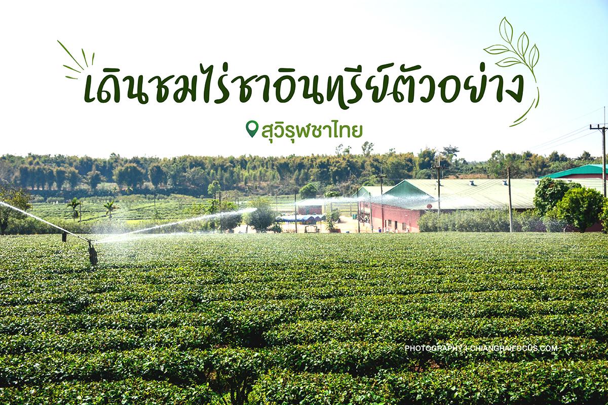 เดินชมไร่ชาอินทรีย์ตัวอย่าง @สุวิรุฬชาไทย