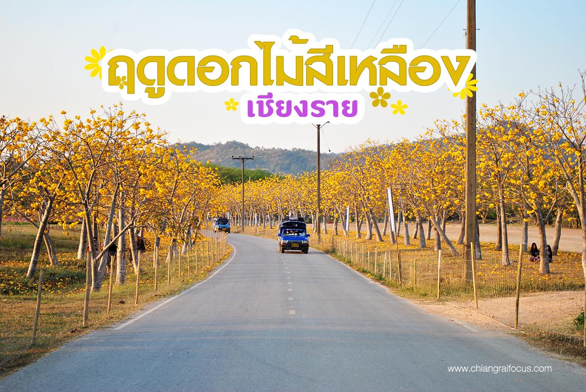 ถนนสายดอกไม้เชียงราย เหลืองอร่ามสวยสุดจนต้องหยุดกดชัตเตอร์